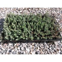 Sedum Reflexum Blue Spruce 3,5-5cm