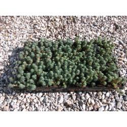 Sedum Forsterianum 3,5-5cm