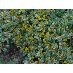 Sedum Kamtschaticum 'Variegatum' 3,5-5cm