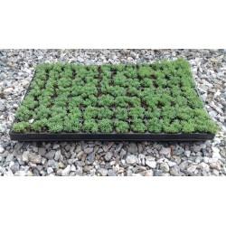 Sedum Hispanicum Minus 3,5-5cm