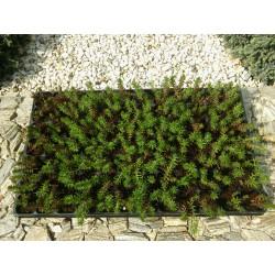 Sedum Reflexum Green Spruce 3,5-5cm