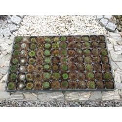 Mix Rojnik-Sempervivum 12 odmian 2-2,5 cm