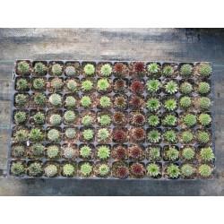Mix Rojnik-Sempervivum  6 odmian 2-2,5 cm